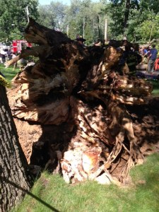 Root rot, which is very evident in the photo, caused this giant tree in East Rochester to fall.
